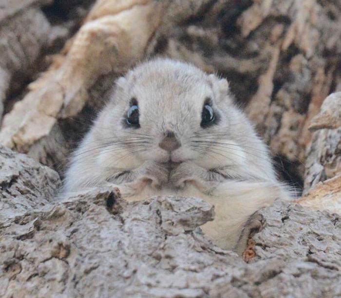 baby dwarf flying squirrel 6 (1)