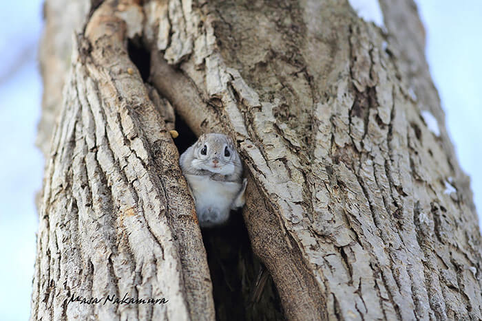 baby dwarf flying squirrel 9 (1)