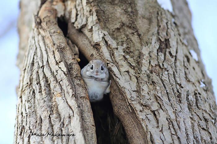 baby dwarf flying squirrel 9 (1)