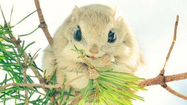 baby japanese dwarf flying squirrel feat (1)