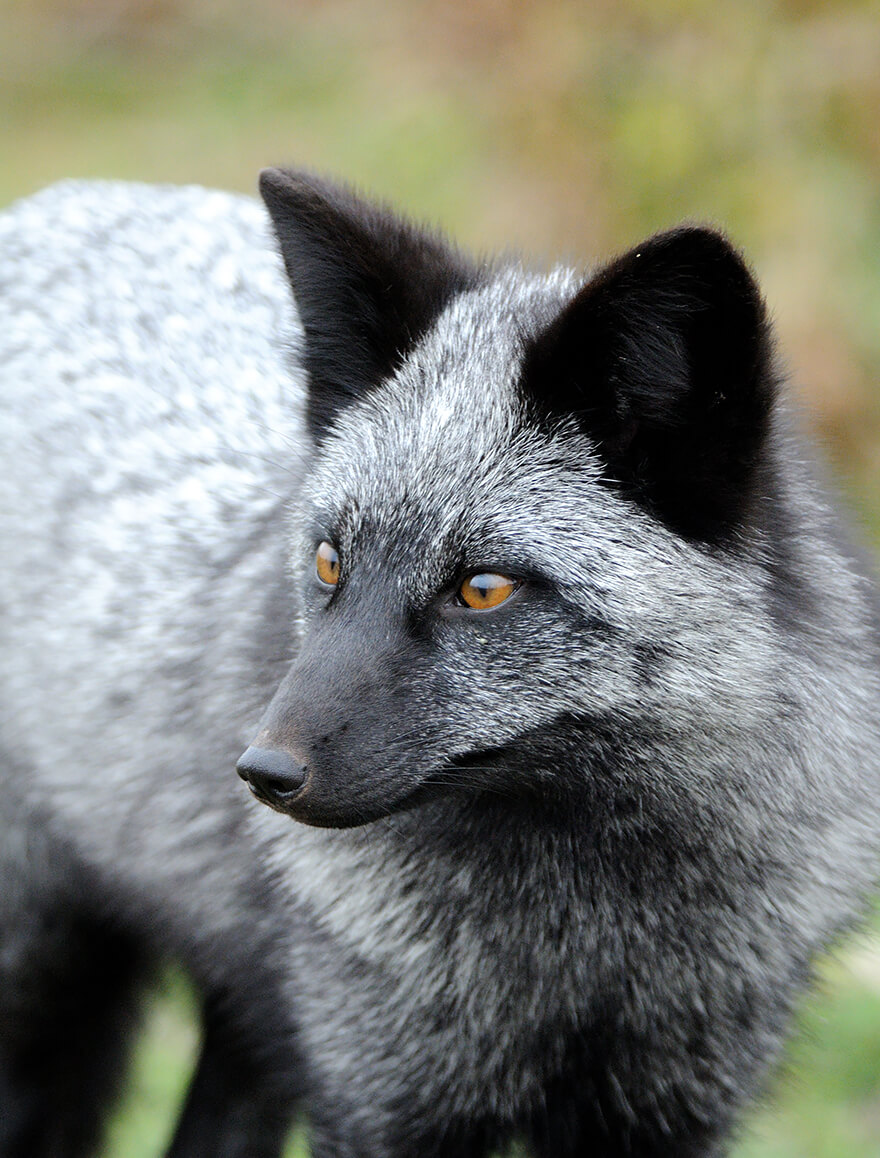 black foxes 1