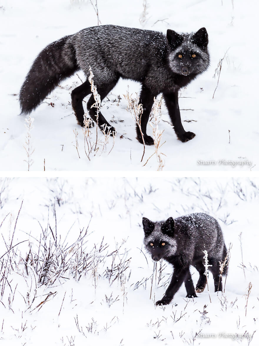 black fox pictures 13