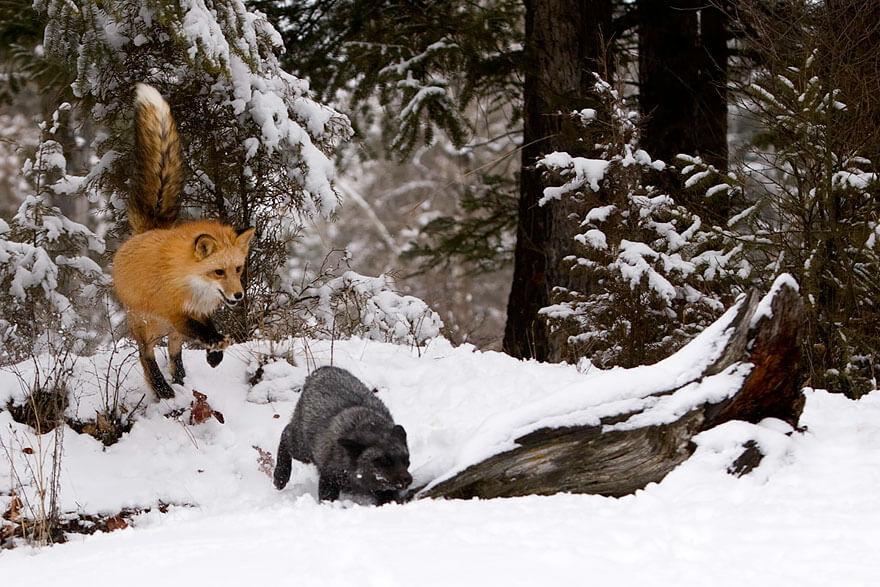 black fox pictures 14