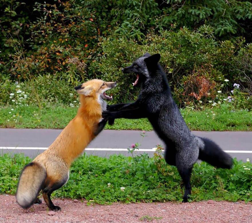 black fox pictures 15