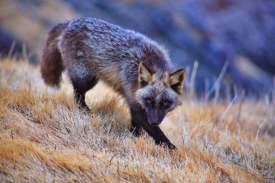 black fox pictures 16