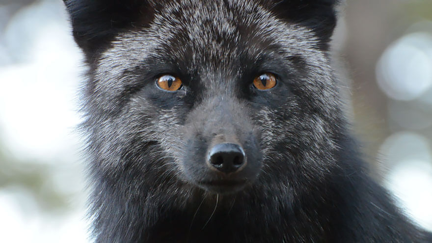 black fox pictures 17