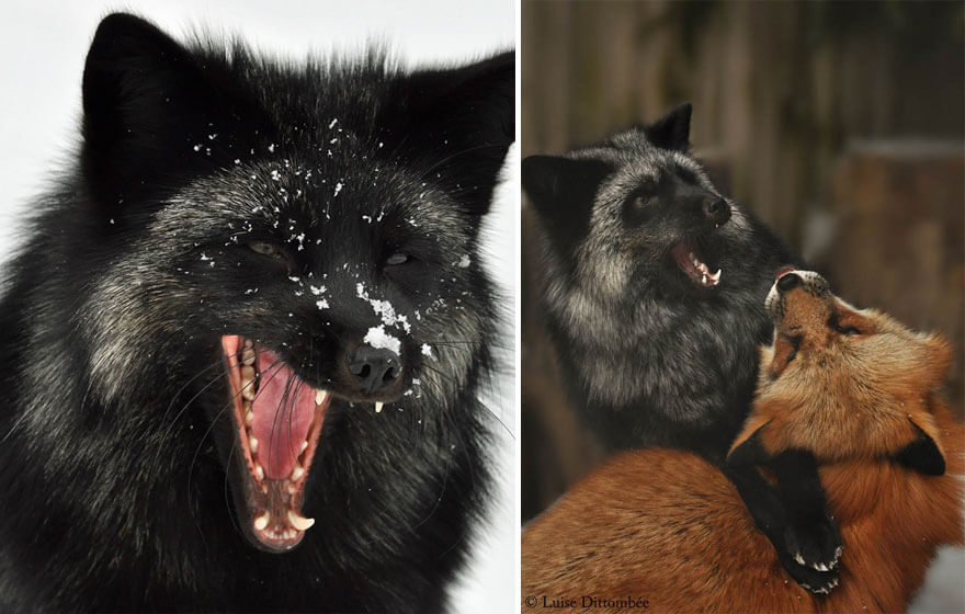 black fox pictures 18