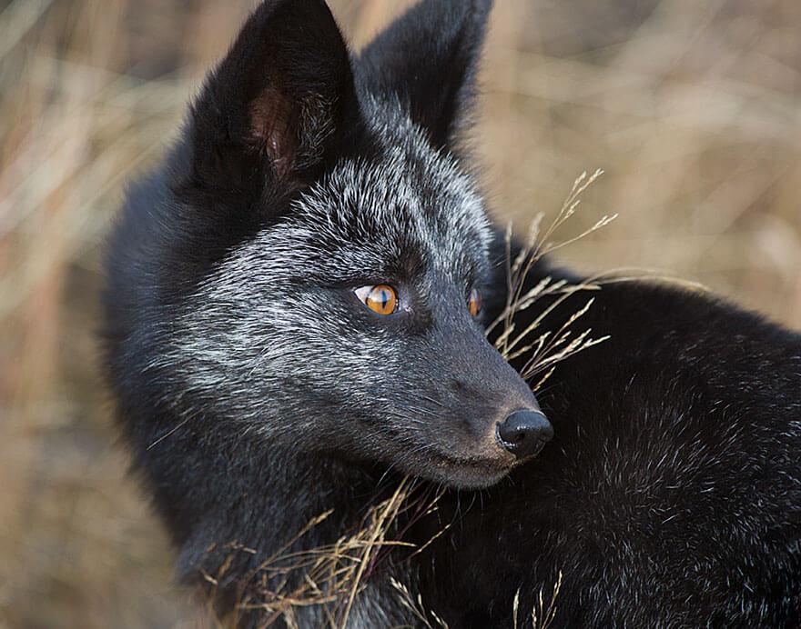 black fox pictures 19