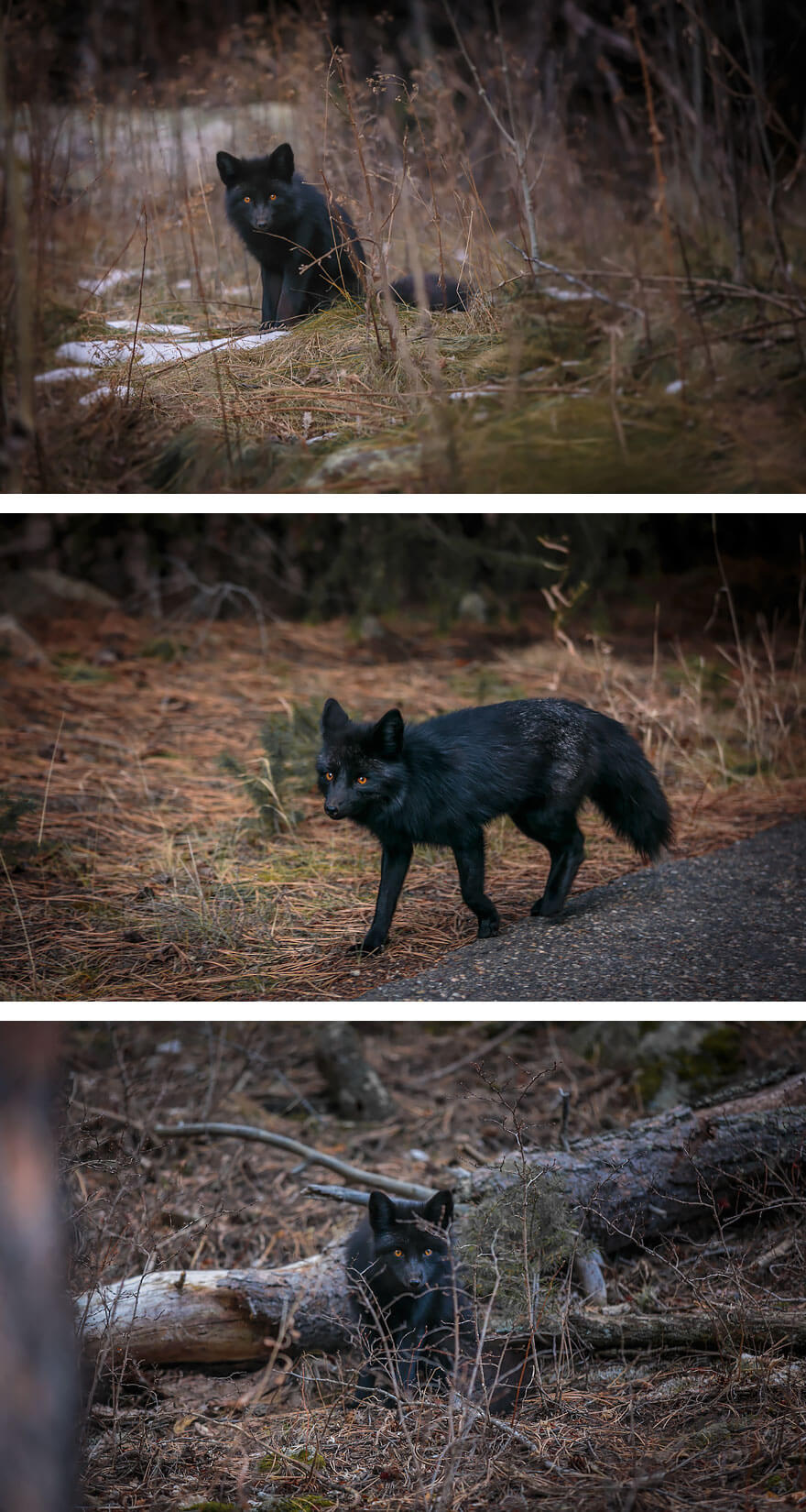 black foxes 2