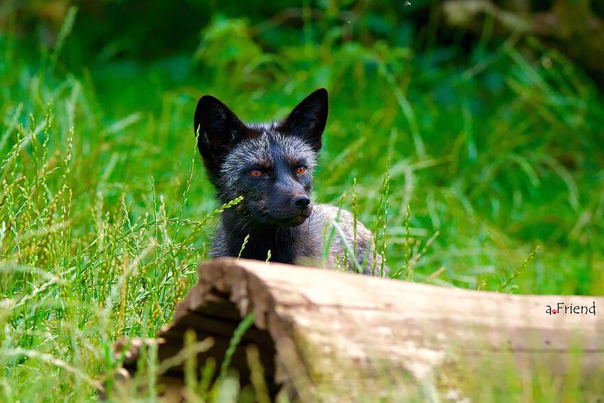 black fox pictures 20