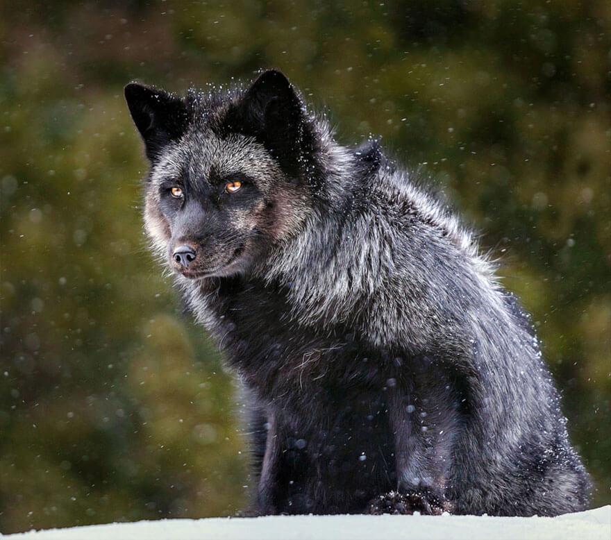 black fox pictures 22