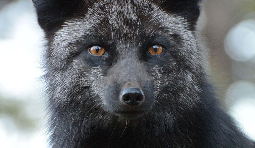 black wolf 23