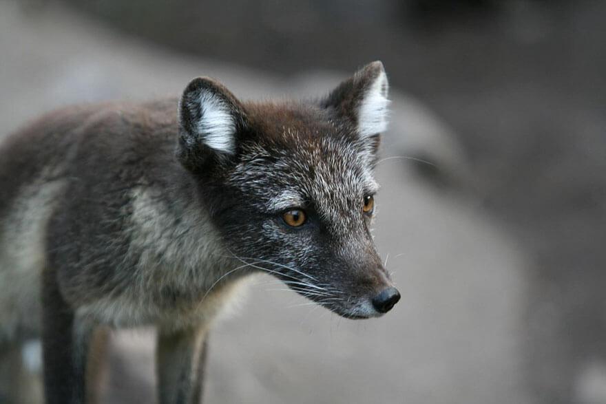 black wolf 24