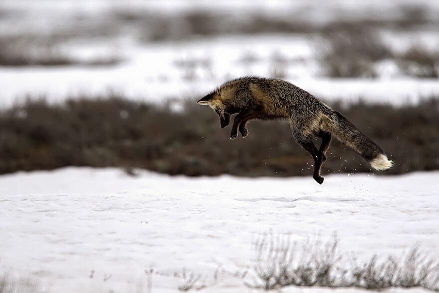 black wolf 25