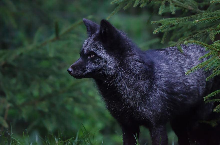 black wolf 26