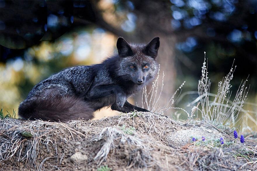 black wolf 27