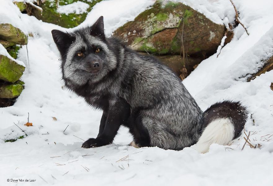 black wolf 28