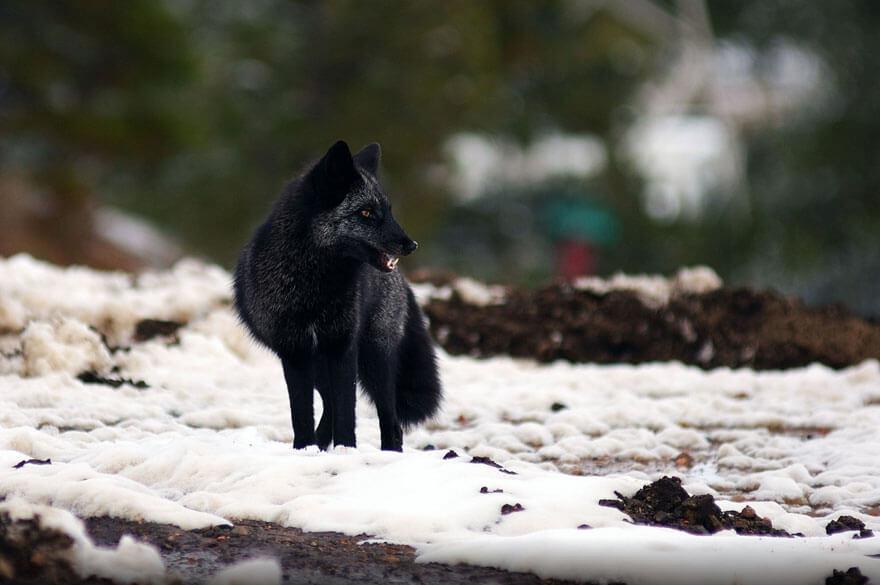 black wolf 29