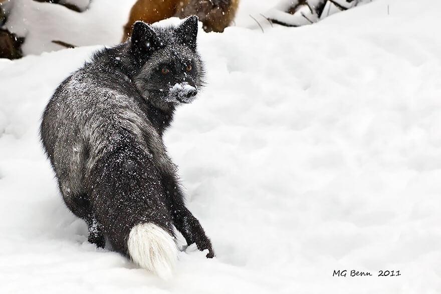 black wolf 30