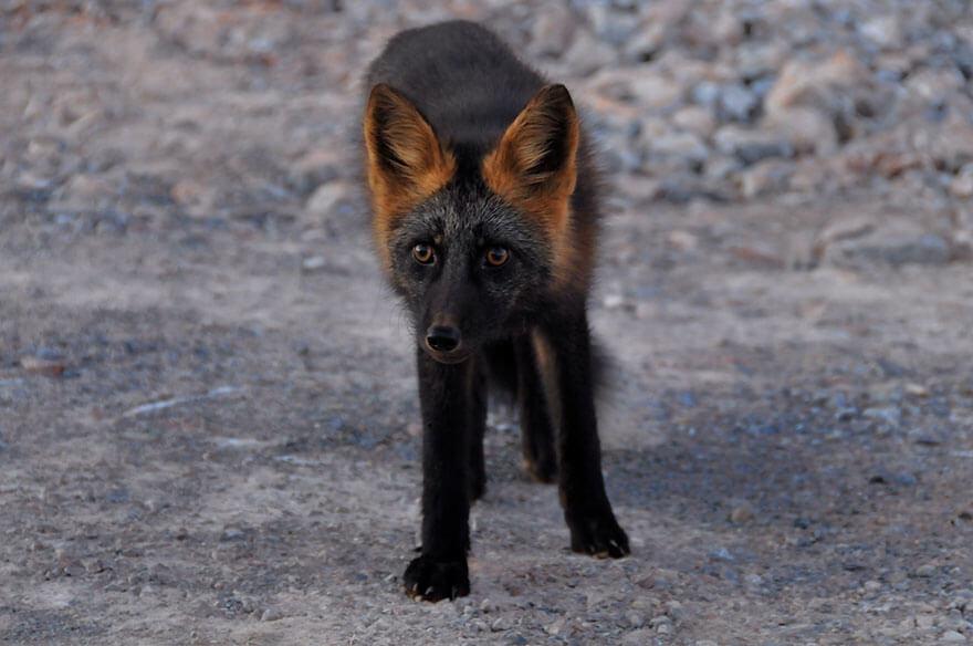 black wolf 31