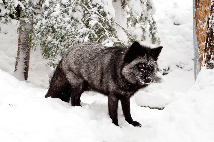 black wolf 32