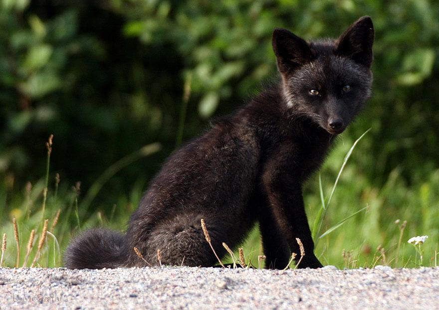 black wolf 34