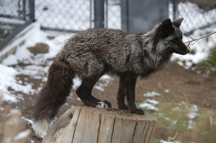 dark foxes 36