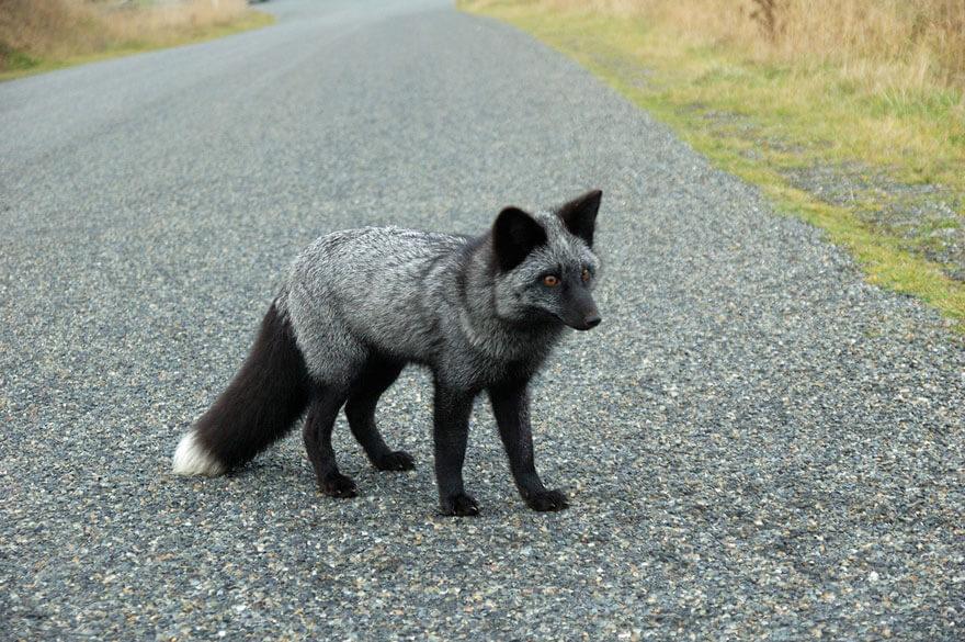 dark foxes 38
