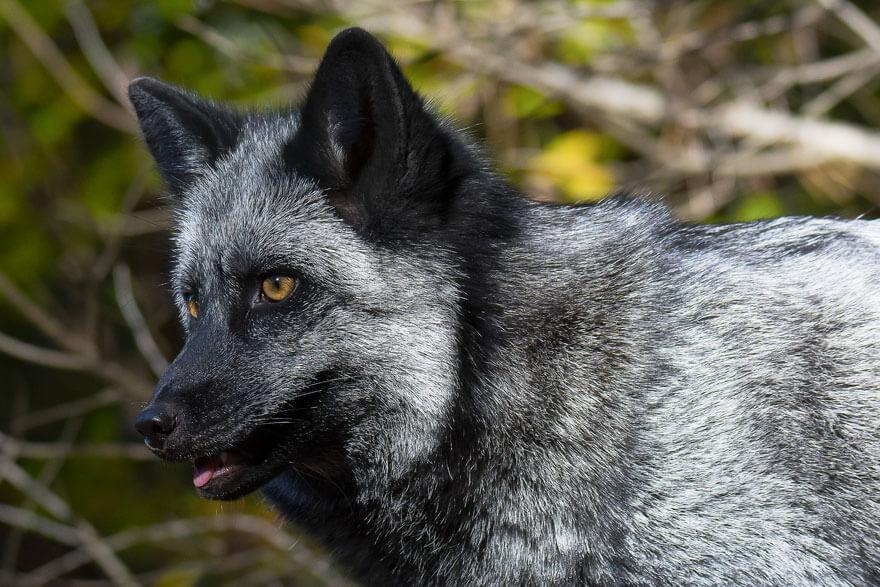 dark foxes 39