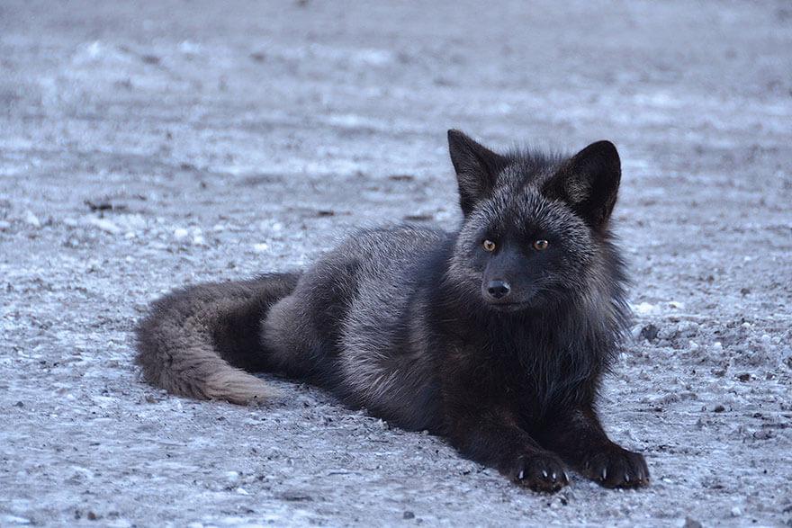 dark foxes 41