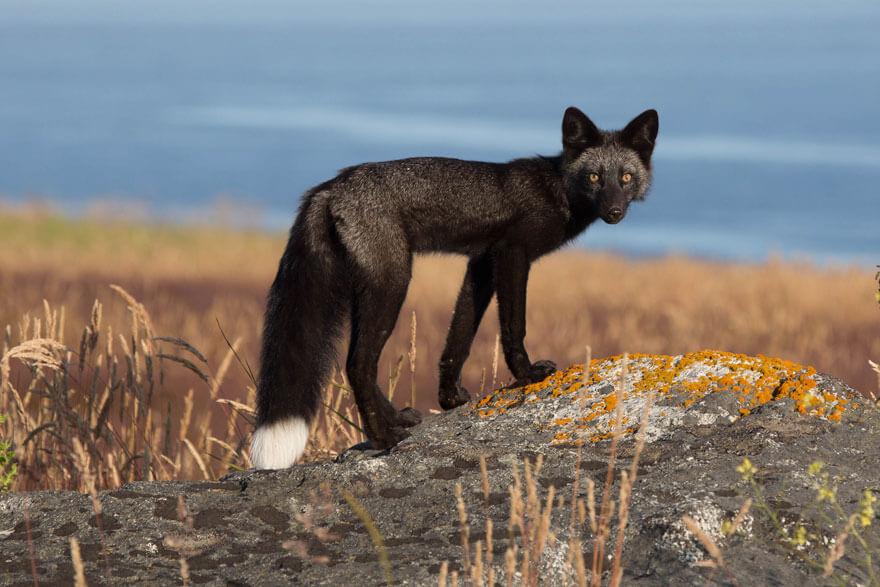 dark foxes 42