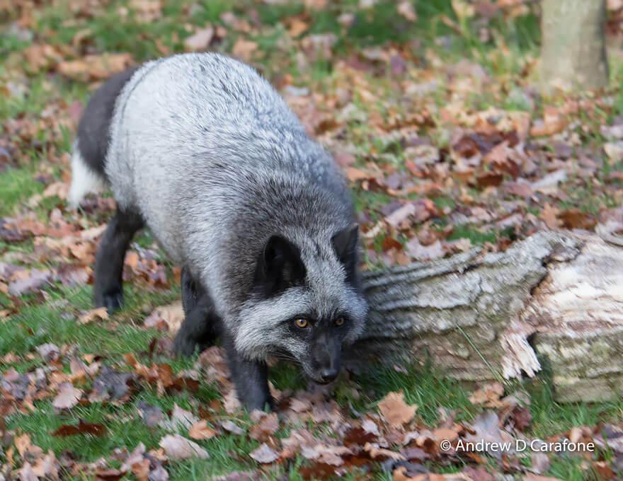 dark foxes 44