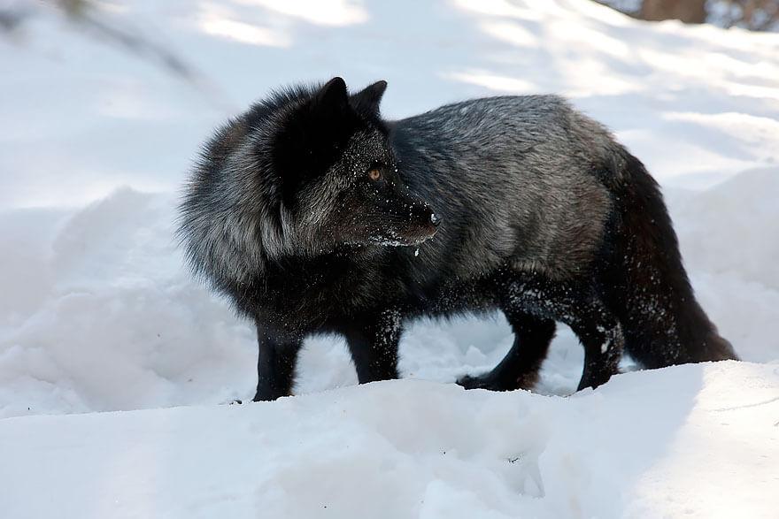 dark foxes 45