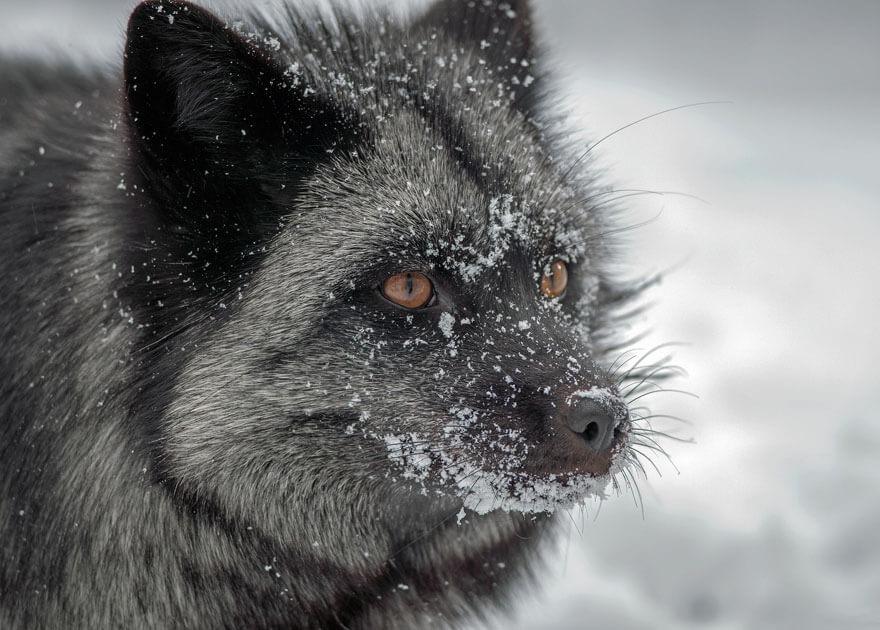 dark foxes 46