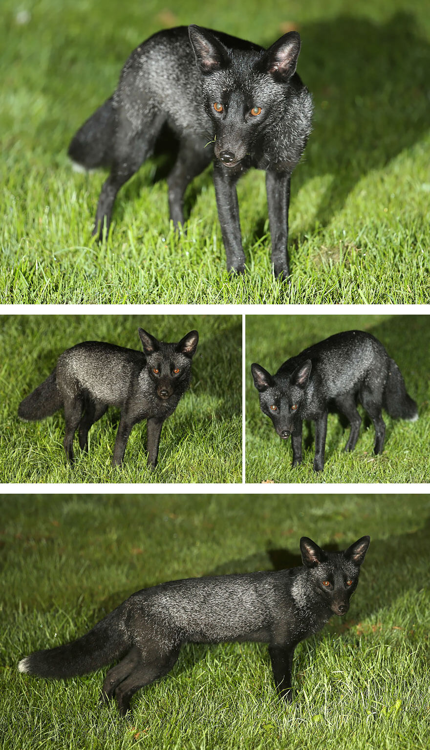 dark foxes 47