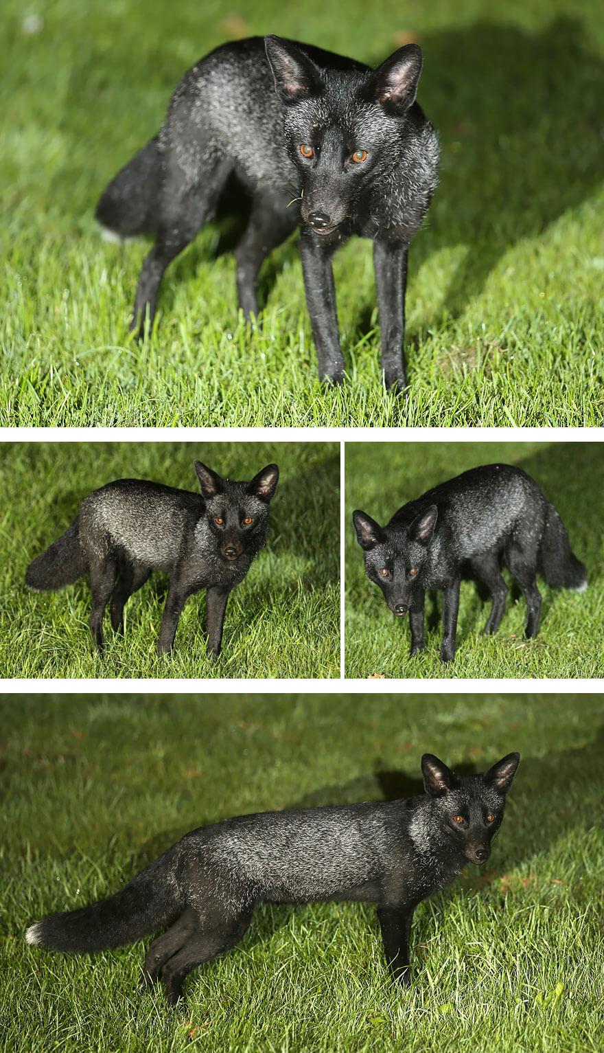 dark foxes 47