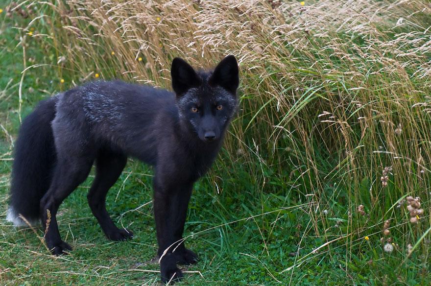 dark foxes 49