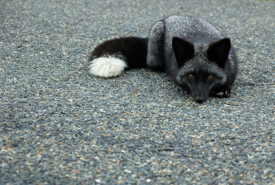 black foxes 5