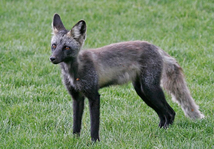 black foxes 50