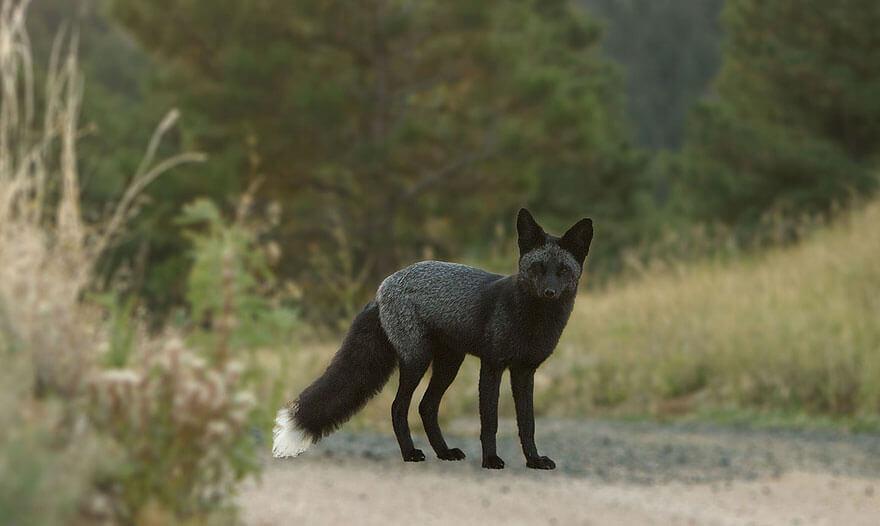 black foxes 51