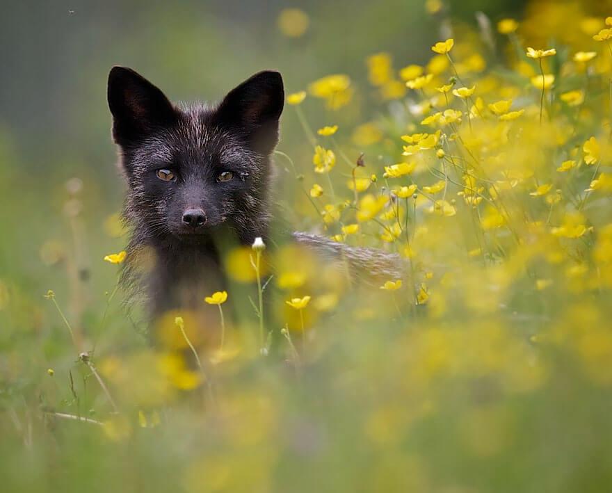 black fox pictures 6
