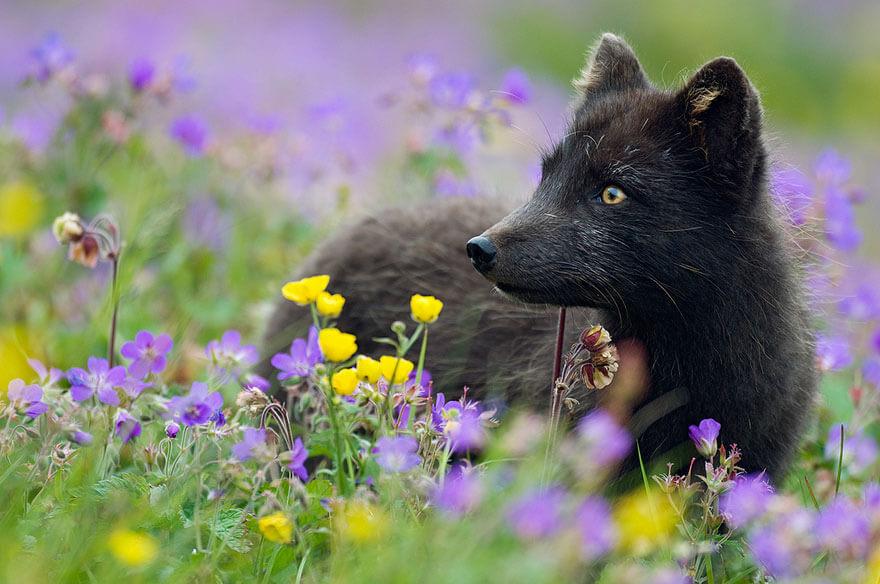 black fox pictures 7