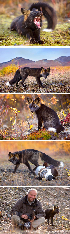 black fox pictures 8