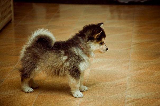 husky cross breeds 12