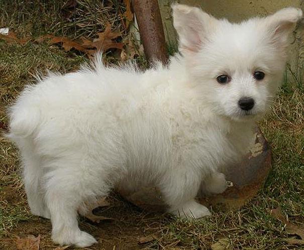 husky mix breed 22