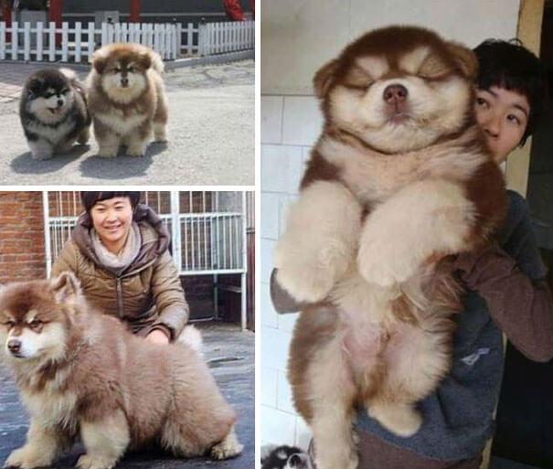 husky cross breeds 3