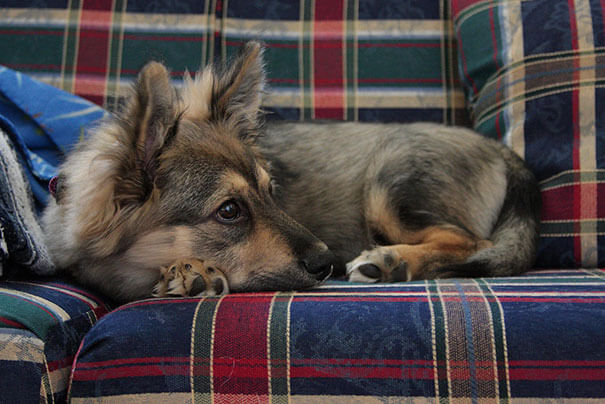 husky cross breeds 7