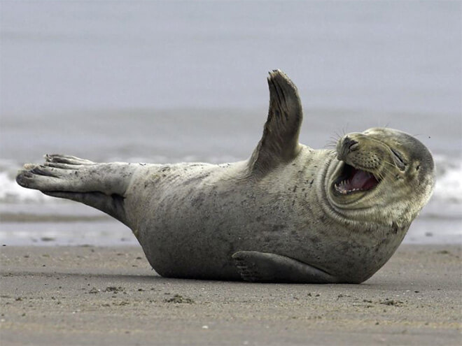 laughing seal 2 (1)