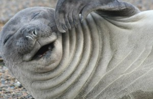 laughing seal feat (1)