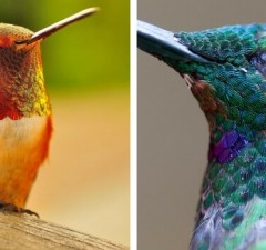 pictures of hummingbirds feat (1)